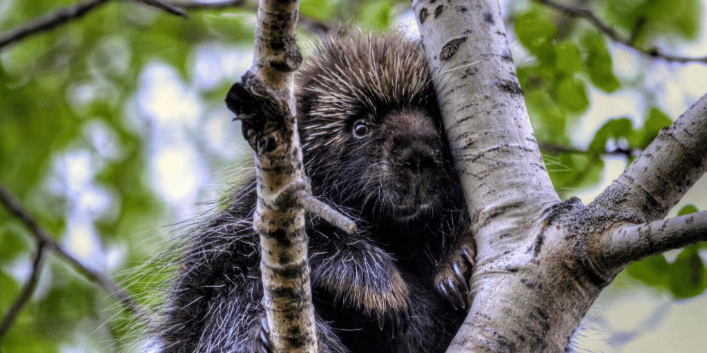 porcupine in tree at Signal Hill