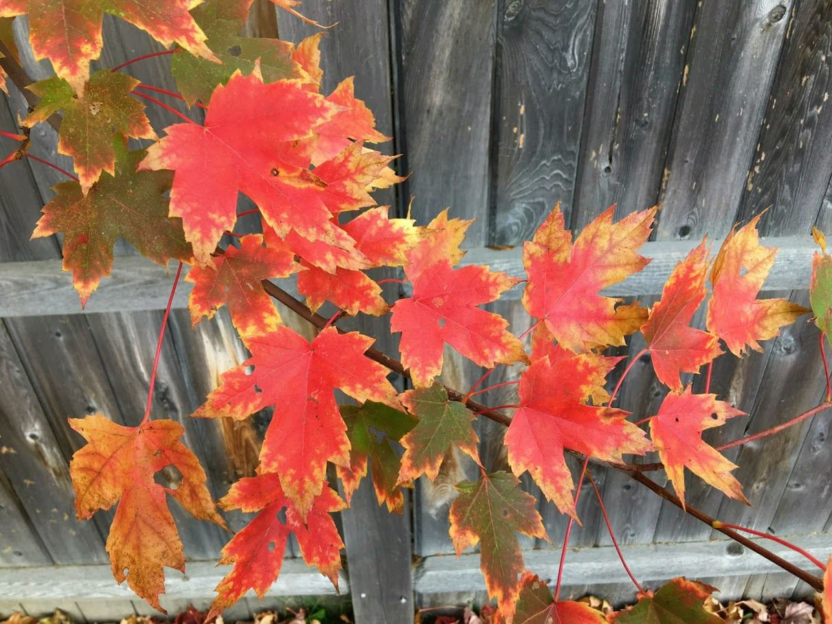 photo of red autumn leaves on a branch. Photo submitted by Patricia McGovern.